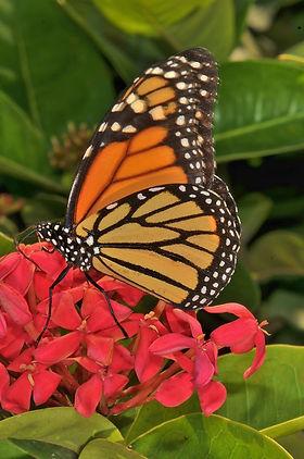 Monach Butterfly  St Lucia.jpg
