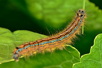 The Lackey Moth Caterpiller.jpg