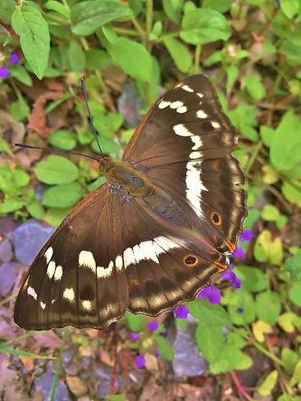 Female Purple Emperor 1.jpg