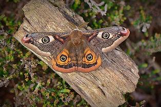 Emperor Moth.jpg