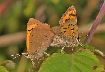 Small Coppers Mating Oxenbourne Down 201