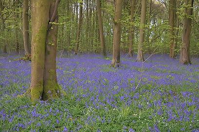 Bluebells Hyden Wood.jpg