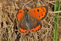 Small Copper OWH May 2014.jpg