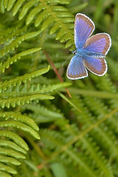 Male Silver-Studded Blue Setley Common J