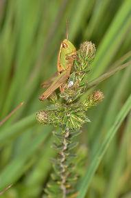 Meadow Grasshopper June 2015.jpg