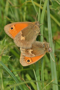 Small Heath Mating (681x1024).jpg