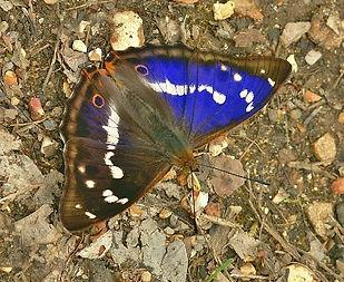 Purple Emperor male 8.jpg