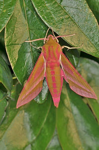 Elephant Hawk-Moth Trap July 2013.jpg