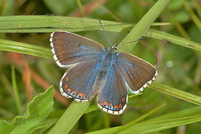 Female Adonis Blue.jpg