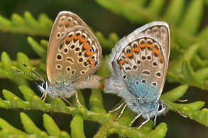 Silver-Studded Blue mating New Forest 20