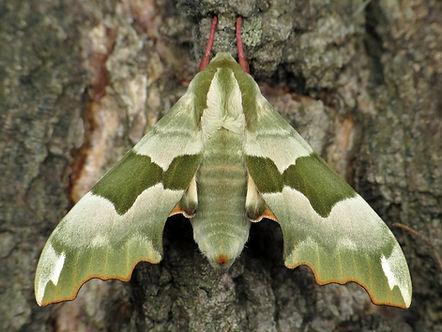 Lime Hawk Moth.jpg