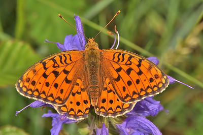 High Brown Fritillary.JPG