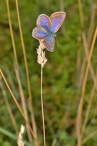 Common Blue (Female) August 2015.jpg