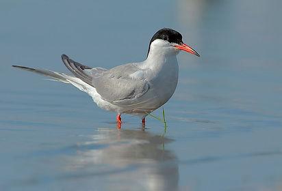 Common Tern Bird.jpg