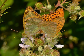 Mating Silver-Washed Fritillaries August