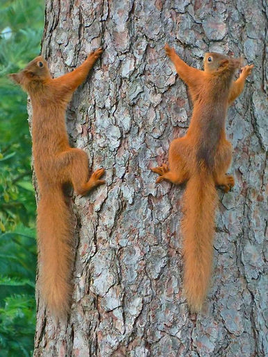 Red SqUIRRELS RACING UP A TREE.jpg
