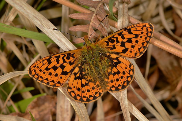 Pearl-Bordered Fritillary New Forest May