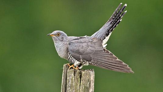 Cuckoo bird.jpg