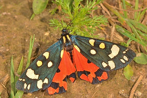 Scarlett Tiger Moth West Wood.jpg