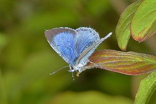 Male Holly Blue.jpg