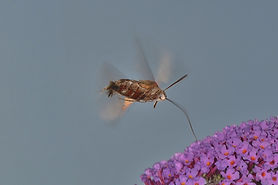 Hummingbird Hawk Moth Garden September 2