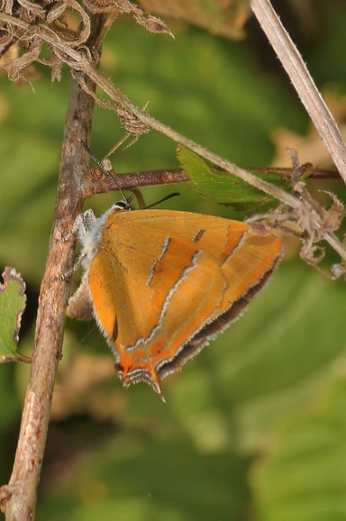 Female on Blackthorn Noar Hill August 20