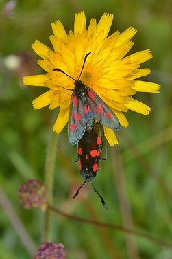 Mating Cinabbar Moths June 2015.jpg
