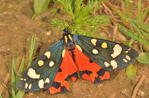 Scarlett Tiger Moth.JPG