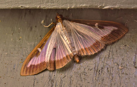 Box Tree Moth.JPG