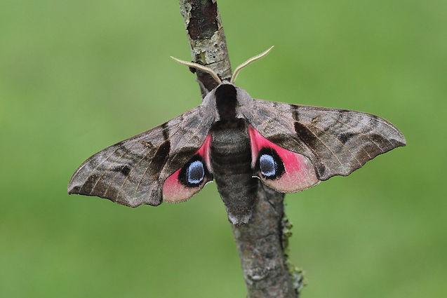 Eyed Hawkmoth 1.jpg