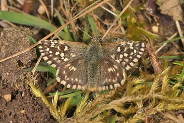 Grizzled Skipper Oxenbourne Down 3 May.j