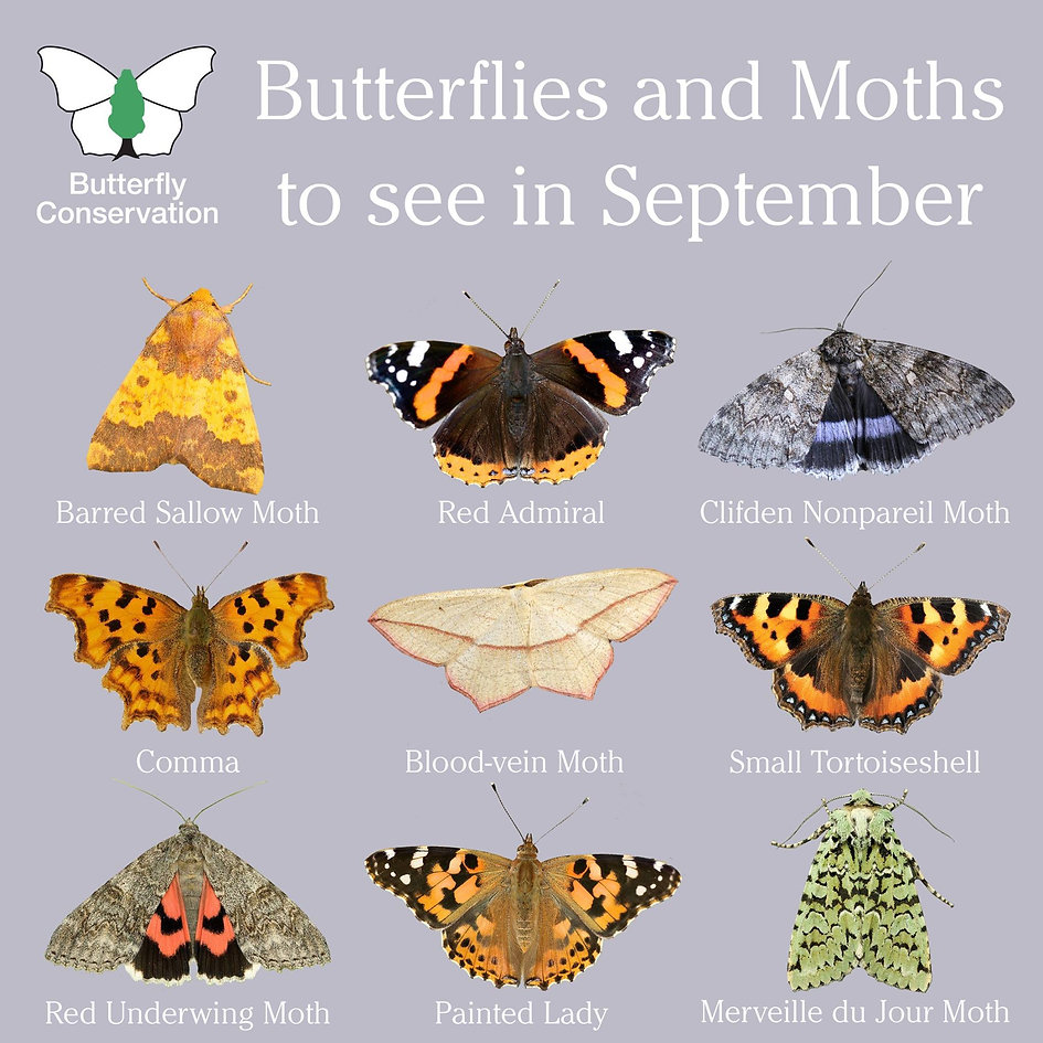 What Butterflies and Moths to see in September.jpg
