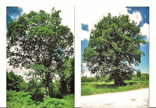 Master trees in woodland Purple Emperor0