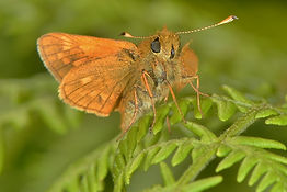 Large Skipper West Harting Down 2015.jpg