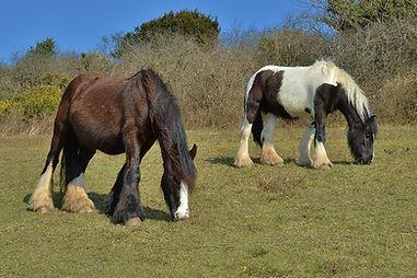 Ponies Portsdown Hill 2015 (1024x683).jp
