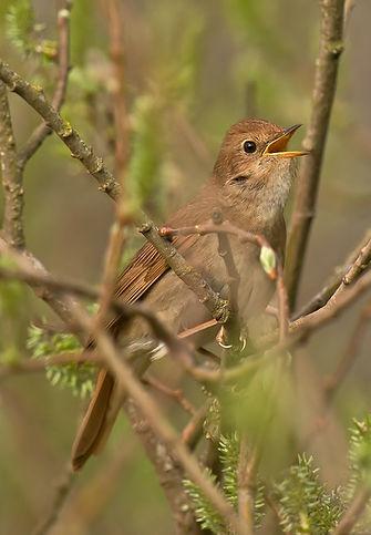 Nightingale.jpg