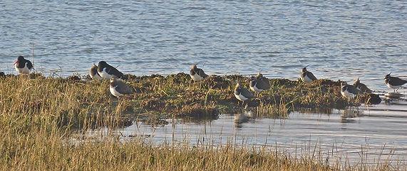 Shoreline Lapwings and Oystercatchers Nikki Kownacki.jpg