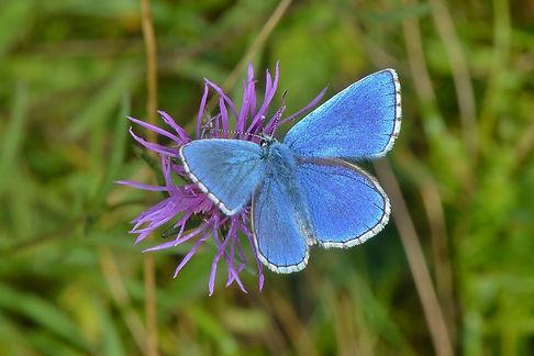 Male Adonis Blue OWH Sept 2015.jpg