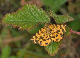 Speckled Yellow Oxenbourne Down May 2014