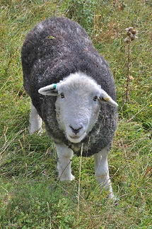 Sheep on OWH September 2014.jpg