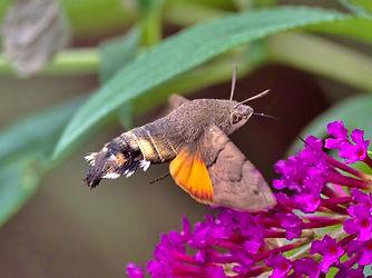 Hummingbird Hawk Moth 2.jpg
