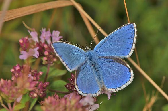 Male Adonis Blue.JPG