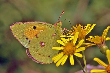 Clouded_yellow_(Colias_croceus)_male_underside_2.jpg