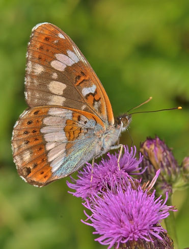 White Admiral Kevin Photo.jpg