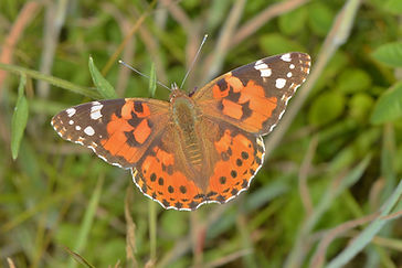 Painted Lady Kevin photo 2.JPG