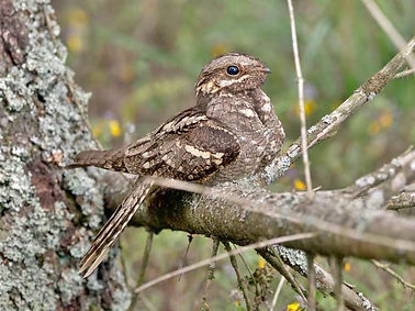 Nightjar- Bird.jpg