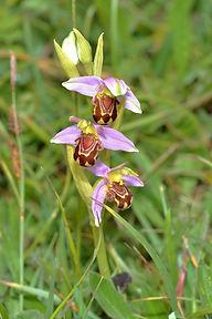 Bee Orchid (2).JPG