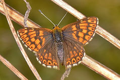 Duke of Burgundy April 2015 Noar Hill (8
