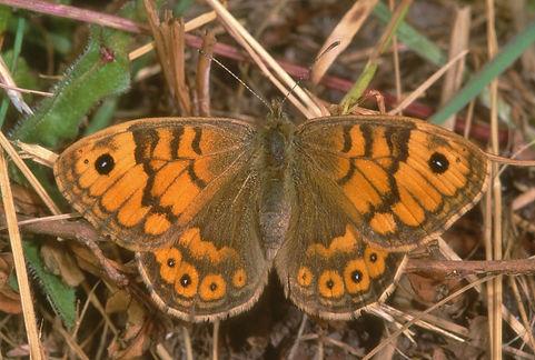 Female Wall Brown Portsdown Hill (3) (10