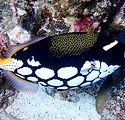 clown-triggerfish.jpg